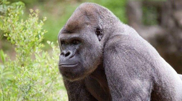 Hayvanat bahçesindeki goriller Covid-19 pozitif çıktı