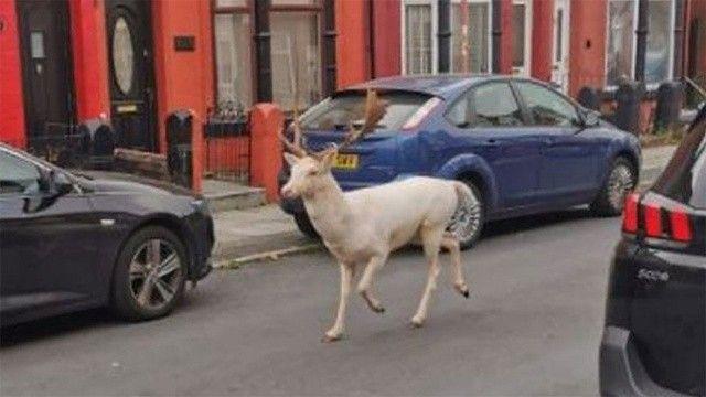 İngiltere'de nadir görülen beyaz geyik sokak ortasında vuruldu