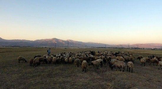 Etkisini sürdüren kuraklık çobanları da vurdu!