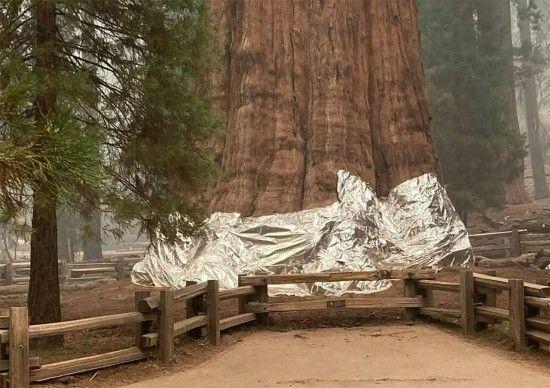 Orman yangınlarına karşı tarihi ağaçlara alüminyum folyo tedbiri