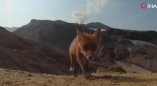 Tilki yanardağı görüntüleyen kamerayı çaldı! O anlar ise kameraya yansıdı