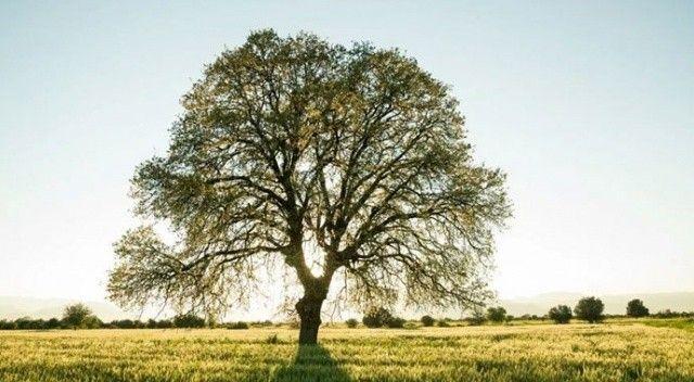 Bilim adamları açıkladı: Meşe ağaçları karbondioksit emilimini arttıra biliyor