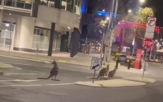 Karantina sebebiyle insanlar evlerine çekildi, sokaklar kangurulara kaldı