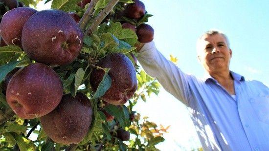 'Burada elma olmaz' demişlerdi! Şimdi her ağaçtan 100 kilo ürün alıyor