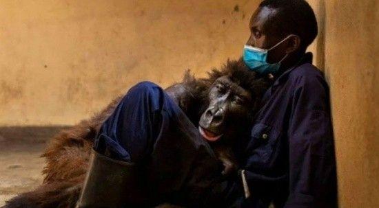 Selfie yıldızı goril olarak tanınmıştı! Bakıcısının kollarında hayatını kaybetti
