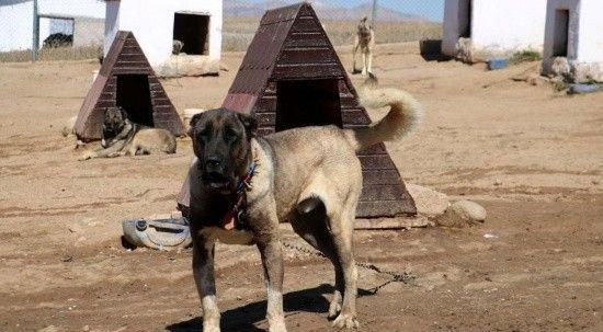 Sivas Kangal köpekler, yurtdışında lüks otomobil fiyatına alıcı buluyor