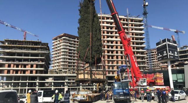 55 yıllık selvi ağacı işte böyle taşındı