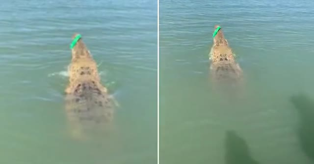Balık beklerken oltasına dev timsah takıldı