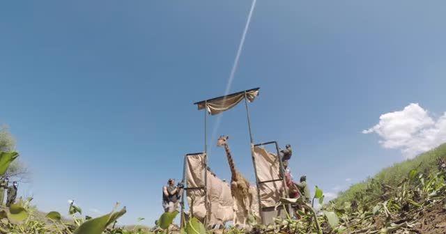 Kenya'da selde mahsur kalan zürafaları kurtarma operasyonu